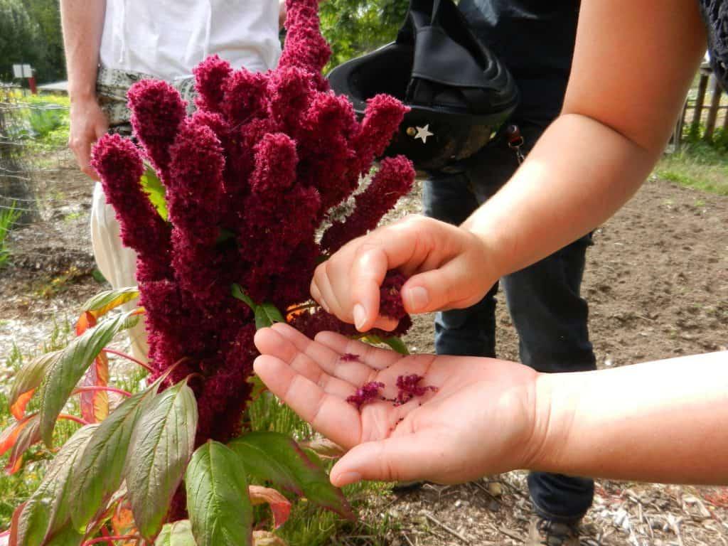 amaranth seeds in gardener hand
