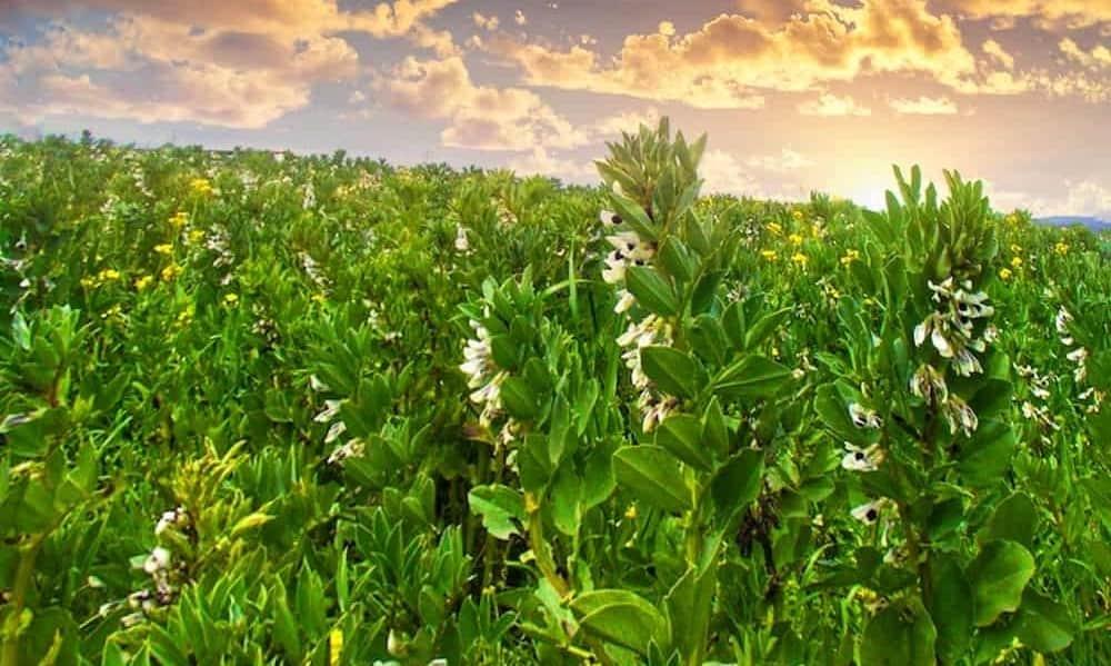 fava beans cover crops